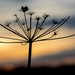 Seed Head Silhouette  by rjb71