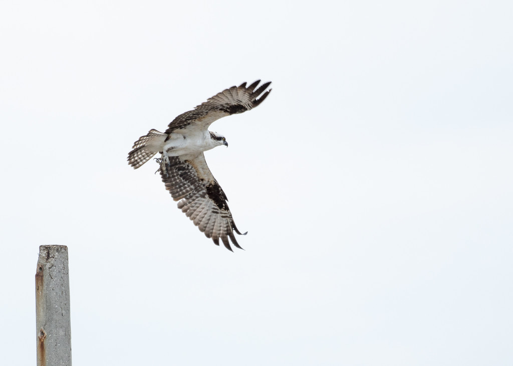 Another Osprey... by dridsdale