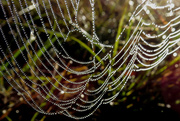 16th Nov 2016 - Never Passed Up a Spiderweb Yet