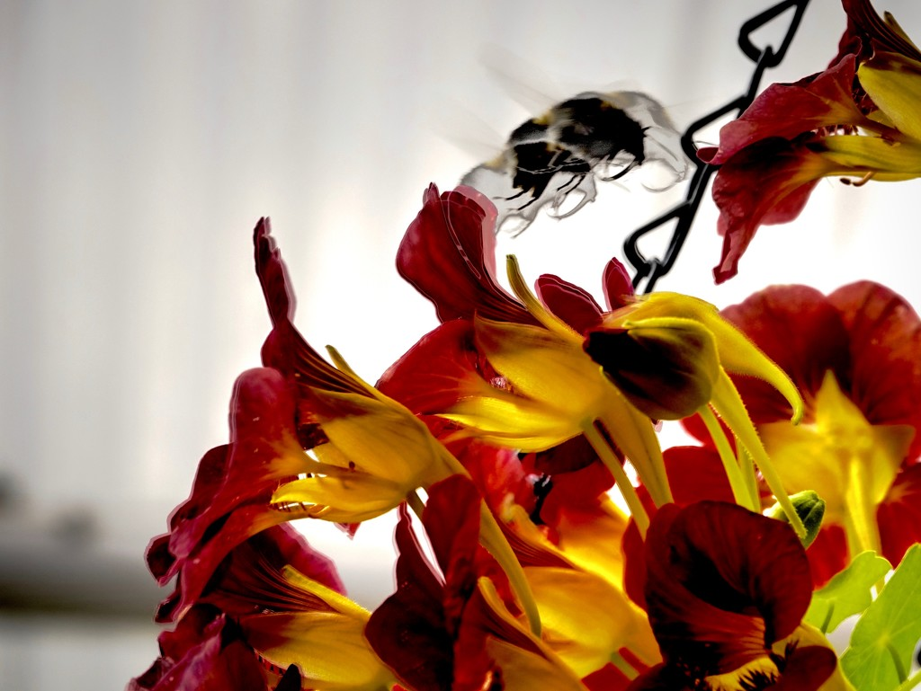 The Flight of the Bumble Bee by maggiemae