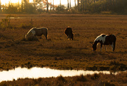 17th Nov 2016 - Ponies at Chincoteague in Afternoon Sun