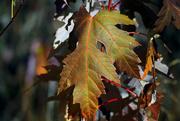 17th Nov 2016 - Autumn Foliage