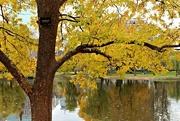 17th Nov 2016 - Lacebark Elm in Public Garden