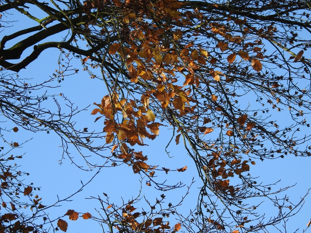 Beech Leaves and Blue Sky by roachling