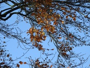 18th Nov 2016 - Beech Leaves and Blue Sky