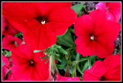 19th Nov 2016 - Colourful Petunias