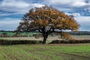 18th Nov 2016 - Single Oak
