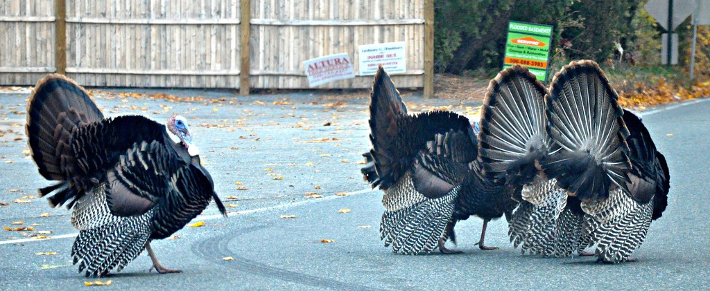 I Brake For Turkeys by sailingmusic