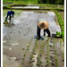 Planting rice near Canguu by susiangelgirl