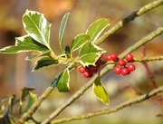19th Nov 2016 - Holly Berries