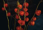 19th Nov 2016 - Chinese Lanterns, our garden