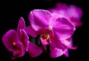 19th Nov 2016 - Macro Orchid