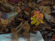 19th Nov 2016 - Autumn Geranium