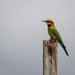 Rainbow Bee-eater by jodies