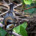 Eastern Spinebill by pusspup