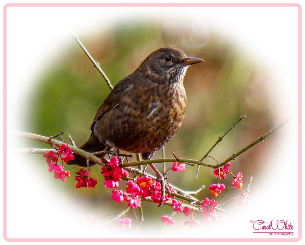 Mrs Blackbird by carolmw