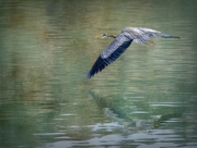 20th Nov 2016 - Reflected Flying Blue Heron Textures