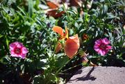 19th Nov 2016 - Cool-season Flowers