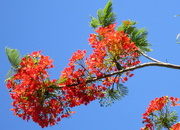 21st Nov 2016 - Poinciana tree