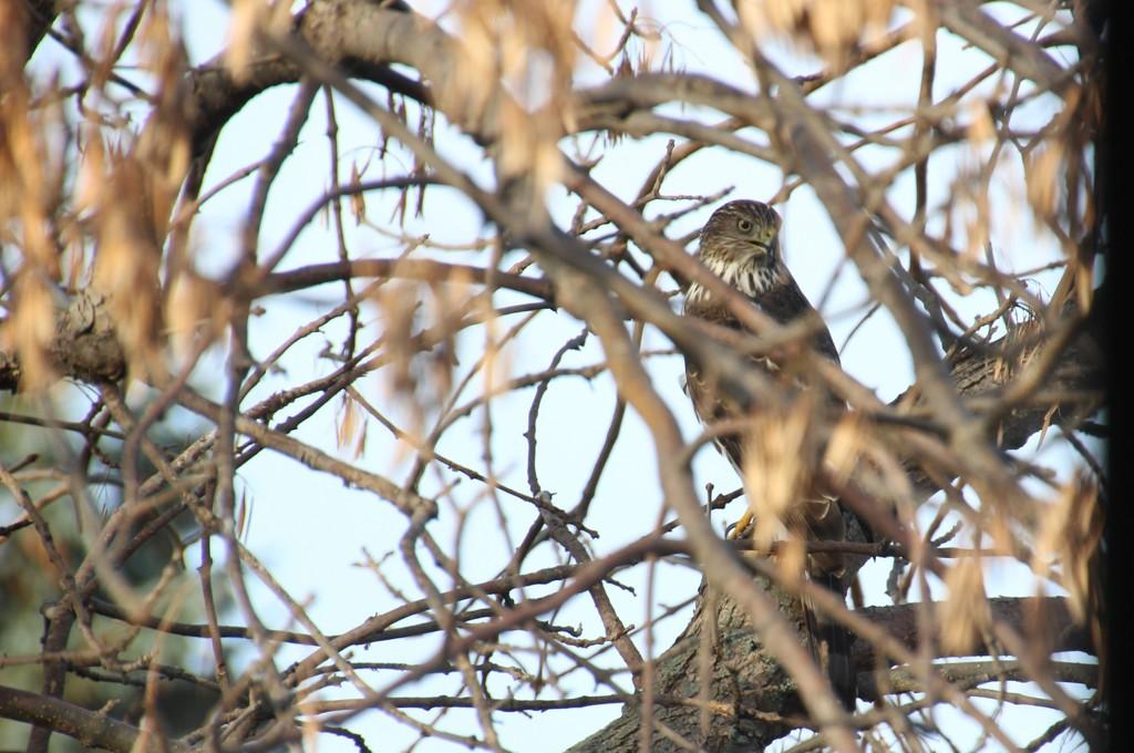 Hawk in the Ash by bjchipman