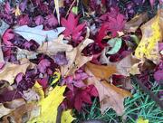 20th Nov 2016 - Autumn Leaves