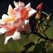 Wild Rose by yorkshirekiwi