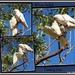 WHITE Gallah  BABY BIRD