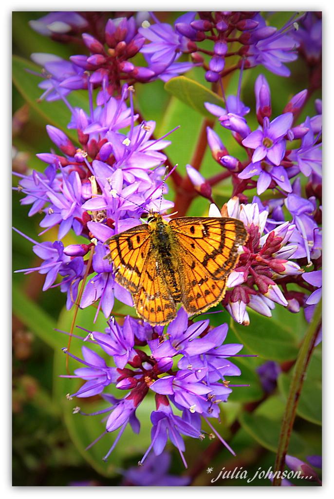 little orange butterfly.. by julzmaioro