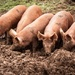 Happy as pigs in muck by swillinbillyflynn