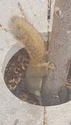 16th Nov 2016 - UCLA Squirrel