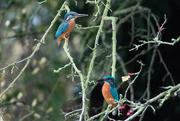22nd Nov 2016 - Meet Mr & Mrs Kingfisher