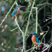 Meet Mr & Mrs Kingfisher by padlock
