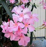 23rd Nov 2016 - Oleander.   Pretty pink