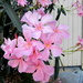 Oleander.   Pretty pink by 777margo