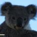 euc please? by koalagardens