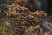23rd Nov 2016 - Autumn's Dried Flowers