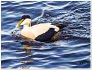 24th Nov 2016 - Eider Duck (male)