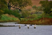 15th Oct 2016 - pelicans in Iowa