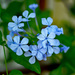 Plumbago by jaybutterfield