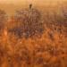 Hunting in Golden Hour by jesperani