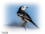 25th Nov 2016 - Pied Wagtail