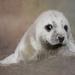 Seal Pup by shepherdmanswife
