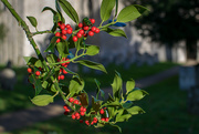 25th Nov 2016 - Holly Berries