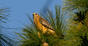24th Nov 2016 - Red Shouldered Hawk in the Pine Tree!