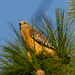 Red Shouldered Hawk in the Pine Tree! by rickster549