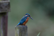25th Nov 2016 - Male Kingfisher-quizical look