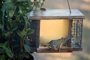 20th Nov 2016 - Tufted Titmouse Dining