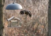 26th Nov 2016 - Flying squirrel