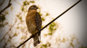 26th Nov 2016 - Red Shouldered Hawk on the Wire!