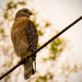 Red Shouldered Hawk on the Wire! by rickster549